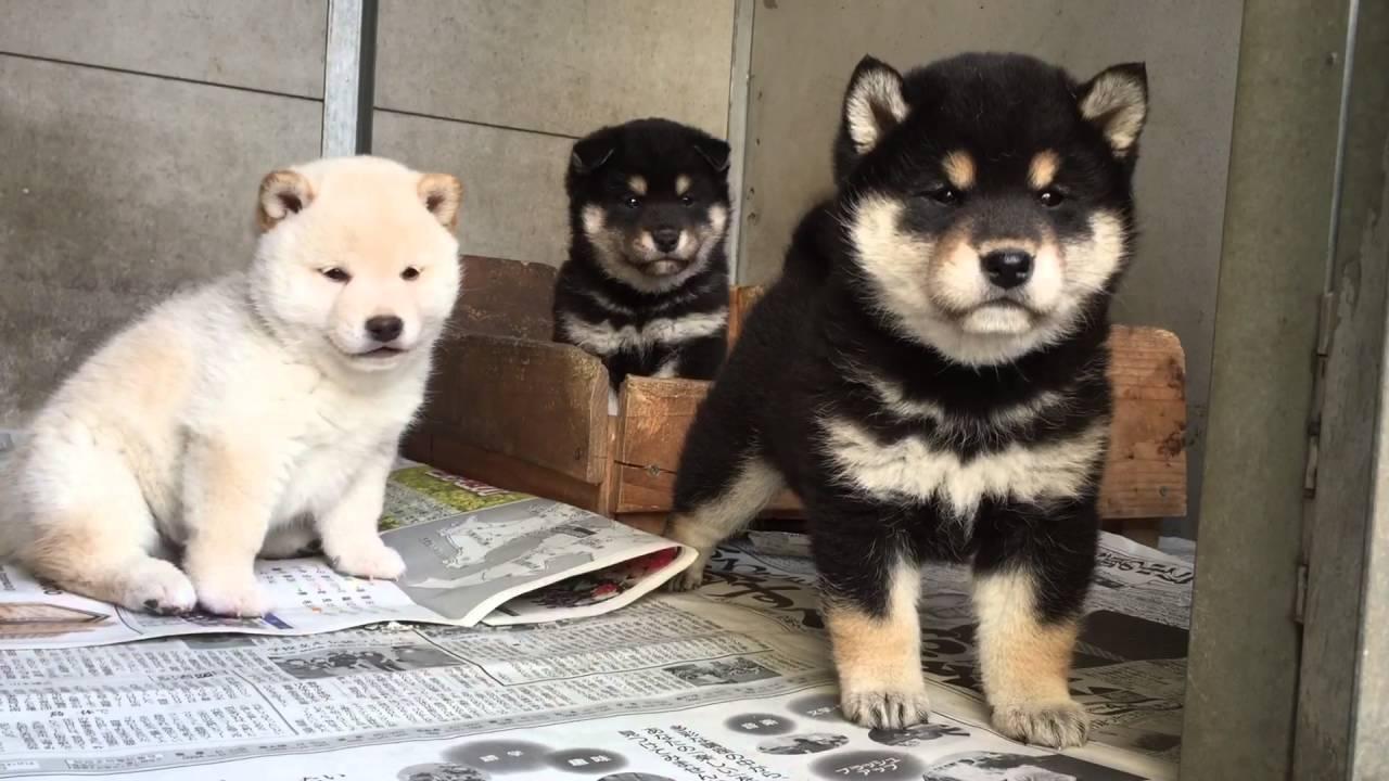 生後38日めの黒柴\u0026白柴子犬 , YouTube