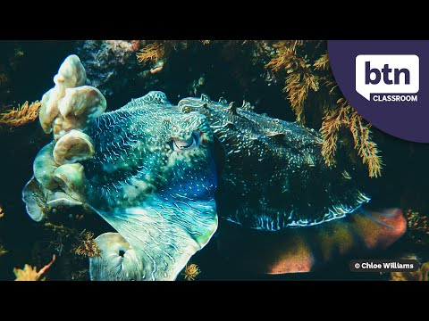 Giant Cuttlefish Migration - Behind The News