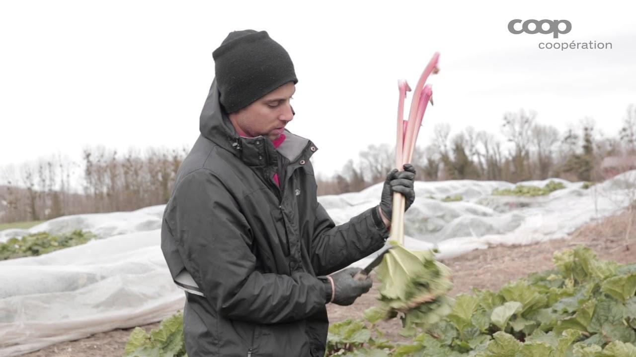 Culture Et Entretien De La Rhubarbe a la découverte de la rhubarbe