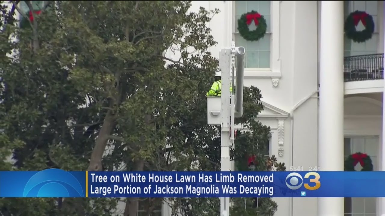 A Large Portion Is Removed From The Jackson Magnolia At The White