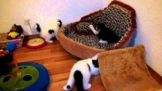 котята шотландские вислоухие питомник foldberry