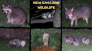New England Wildlife ~ Massachusetts and Rhode Island Wildlife ~ Backyard Wildlife