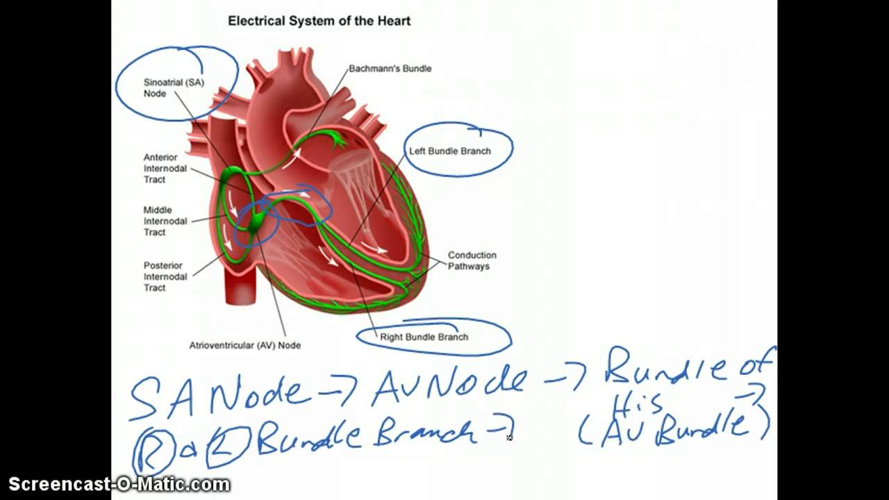 Conduction System Of The Heart Youtube