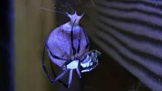 time-lapse: spider egg sac