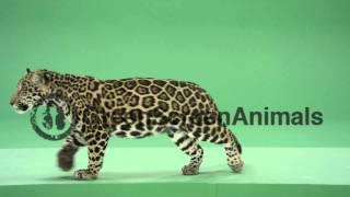 Jaguar : sitting facing forward - Green Screen Footage