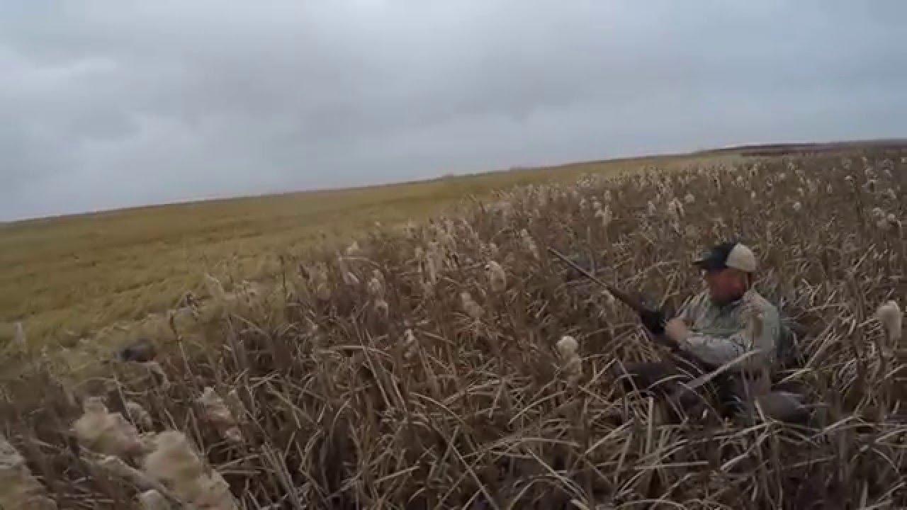 Download Saskatchewan, Canada mallard field hunt