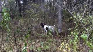 German Shorthairs Hunting