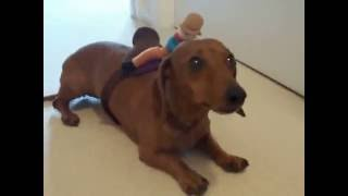 Video Barrel Racing Wiener Dog download MP3, 3GP, MP4, WEBM, AVI, FLV Agustus 2018