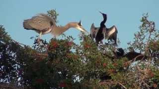 Great Blue Heron Nesting & Anhinga Fight