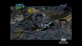 Born to be Wild: Doc Ferdz Recio witnesses the amazing ability of a coral snake