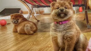she-so-savacc-mlip-ep-225-shiba-inu-puppies
