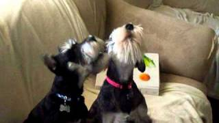 Mini Schnauzer Howl (duke And Duchess)