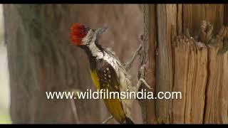Three birds fighting for one nest - Common Myna, Brahminy Starling, Black-rumped Flameback