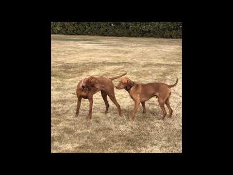 Vizsla Breeding FIRST TIMERS