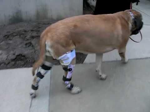 Dog Knee Brace. WOW!!! AOC PET - YouTube