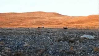 Spitsbergen; Midnight sun reindeer hunting.
