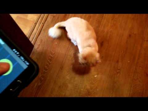 Кот сходит с ума от звука приложения мобильного телефона.