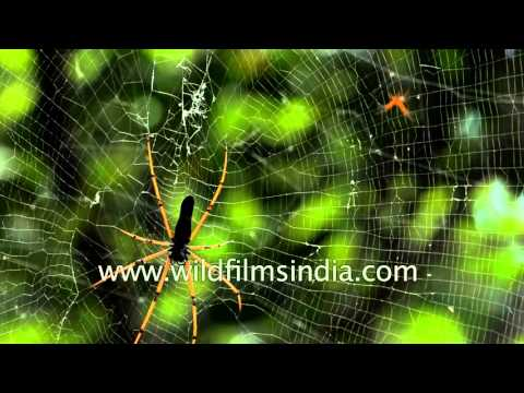 A spider spins its web