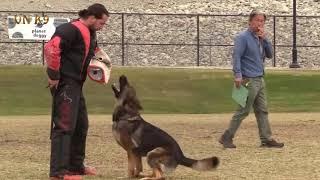 German shepherd dog  CHAMPION IGP  IGP3 C 97 POINTS