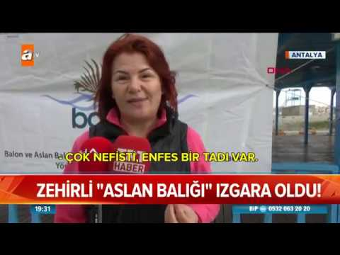 Download Zehirli aslan balığı mangal oldu! - Atv Haber 10 Mart 2019