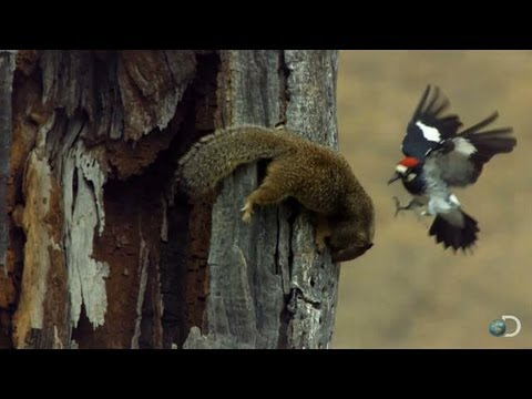 Woodpecker Fends Off Squirrel | North America