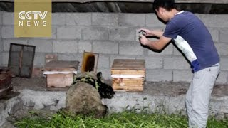 Watch: Panda sneaks into bee farm to steal honey