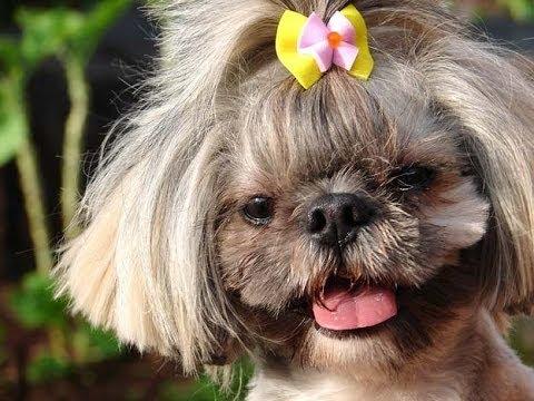 Лхаса Апсо (Lhasa Apso). Породы собак (Dog Breed)