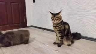 Котята мейн кунов.- А у нас сегодня кошка Родила вчера котят.