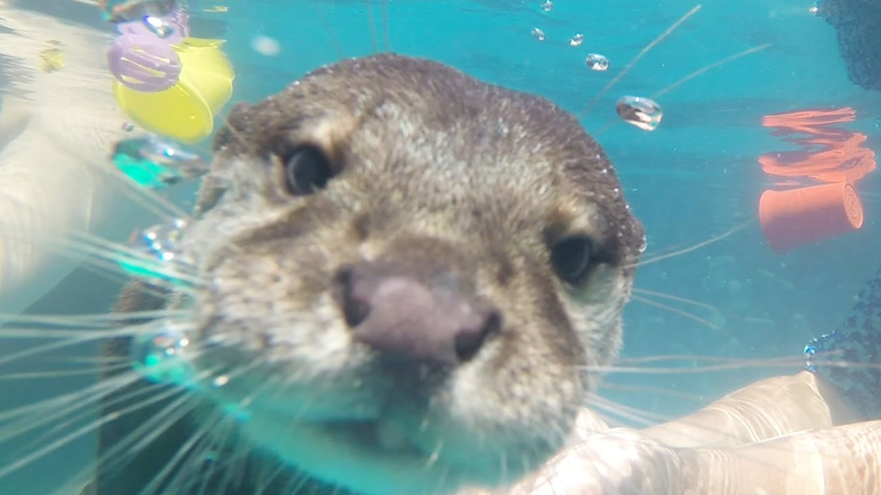 a9c2817d5 People Swim With Otters For The First Time - YouTube