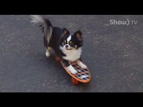 Nanaimo Kennel Club - Long Hair Chihuahua