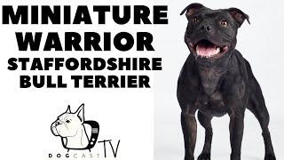 Miniature Warriors  STAFFORDSHIRE BULL TERRIER! DogCastTV!