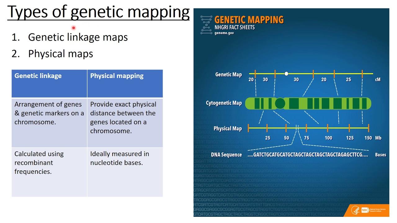 maxresdefault Genetics Map Units on pedigree chart, map unit biology, dihybrid cross, monohybrid cross, test cross, punnett square, wild type, map units gene mapping, map genetic diseases, genetic screen, reciprocal cross,