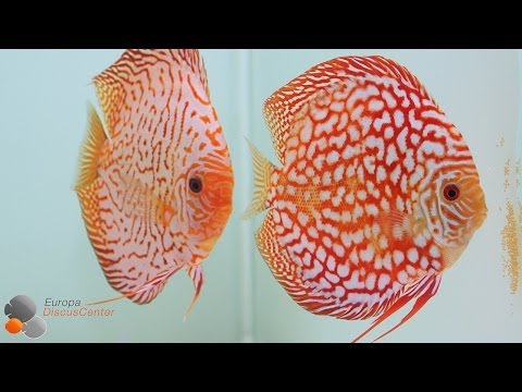 Aggressive Checkerboard Discus Protecting Fry