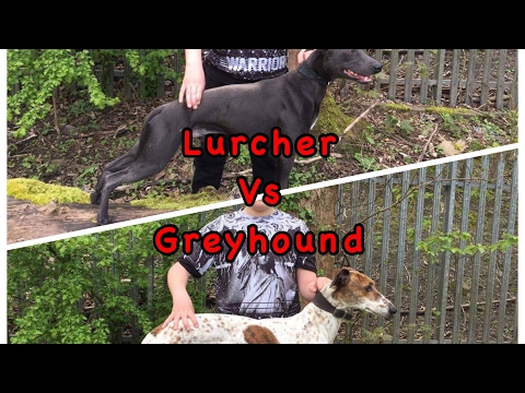 Greyhound Vs Lurcher who is faster a greyhound or Lurcher, fastest dogs in the world, top 10 dogs