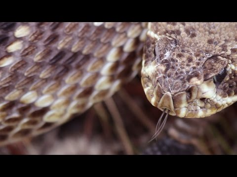 Bruce Means | In the Grass with the Eastern Diamondback Rattler