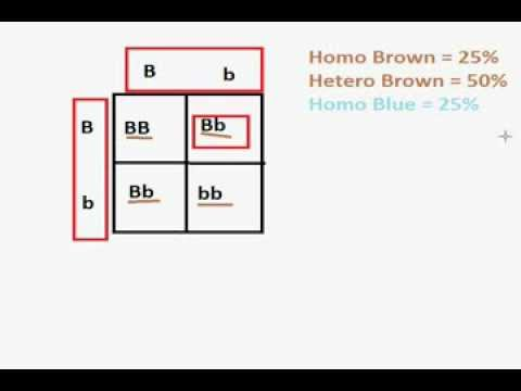 Difference Between Genotypes and Phenotypes - YouTube