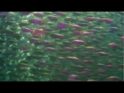 Massive Shoal Of Fish HD