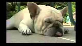 Французский бульдог, все породы собак, 101 dogs.