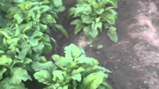 Growing A Vegetable Garden In Ontario, Canada 2014