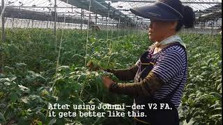 [Tomato virus]Plant virus inhibitor treatment on TSWV & TYLCV