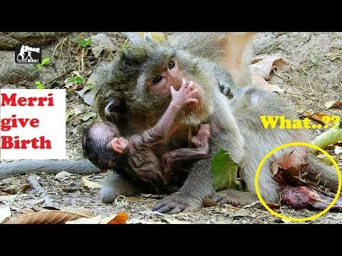 Rarely event-5 minute of Merri give a birth immediately How Merri give a birth to newborn monkey
