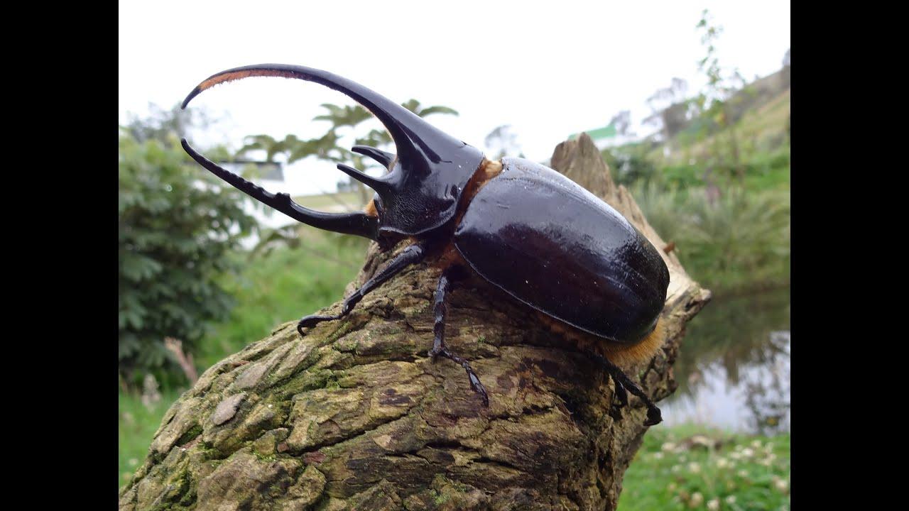 Dynastes hercules y neptunus (Giant Beetle) - YouTube