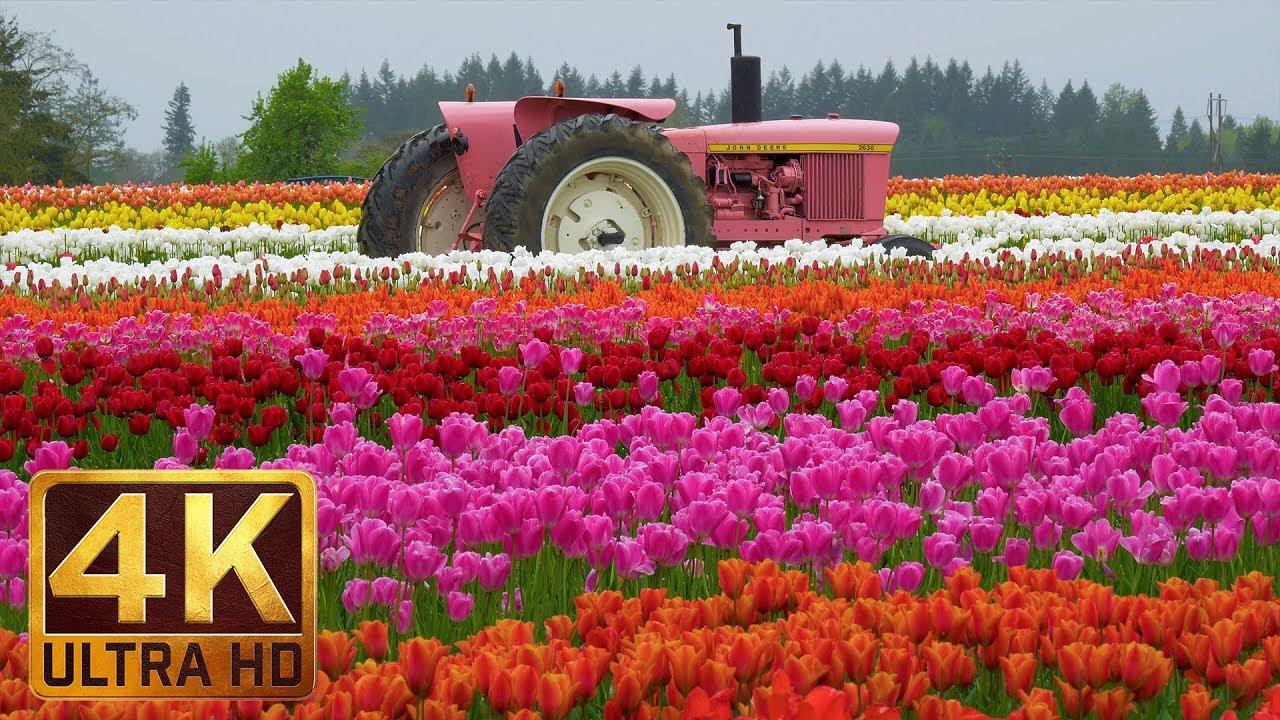 ultra hd flowers scenery wooden shoe tulip festival in oregon