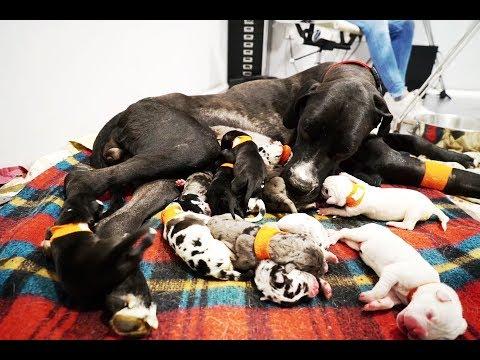 AMAZING Great Dane mum delivers 14 puppies!