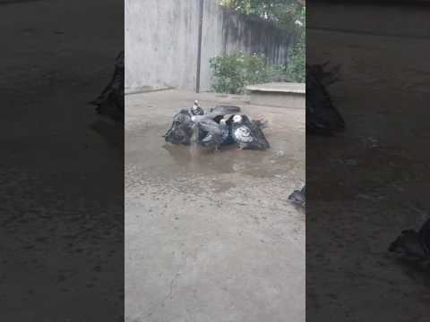 Pigeon vellore Ranipet