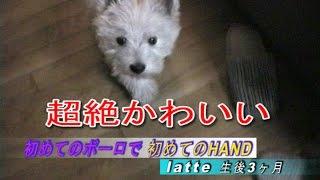 Latte(ラテ)君。生後3か月のウェスティ(ウェストハイランド・ホワイ...