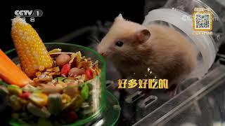[正大综艺·动物来啦]仓鼠的颊囊存有食物后会尽可能停止做什么| CCTV