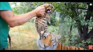 ВЫ  ТАКОГО ЕЩЕ НЕ ВИДЕЛИ ! Амурская тигрица принимает чужих детей.Тайган .Крым