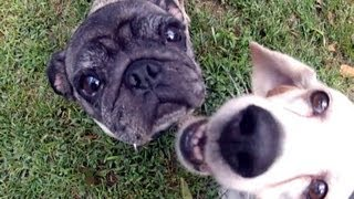 Pug Vs Beagle  Who Rules - The Cute Pug Or The Persistent Beagle?