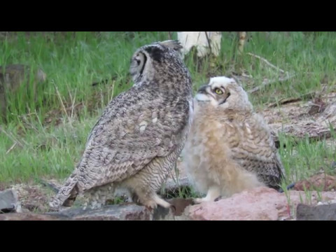 Great Horned Owl Baby and Mom embrace. Happy Mothers Day Mom Love Shaun